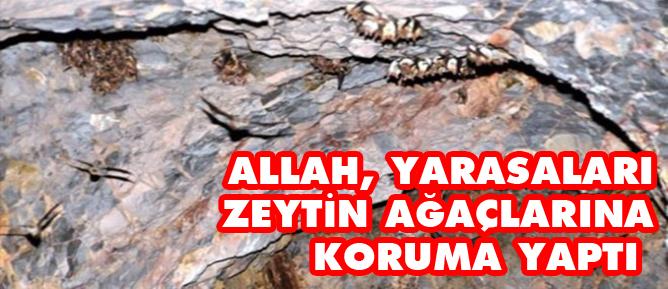 Allah, yarasaları zeytin ağaçlarına koruma yaptı
