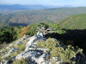 Kazdağları'nda 3 Asırlık Çam Ağacı