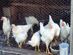 İneklerden sonra sıra tavuklarda!