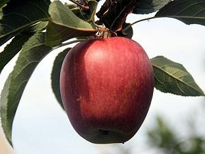 Sağlık için üç ceviz, bir elma önerisi