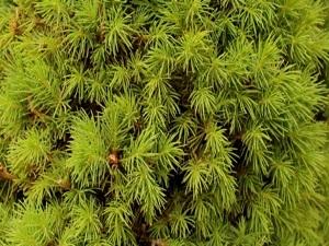 Çam yapraklarından gelen şifa