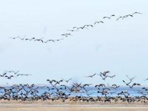 Kuşlar Lagündeki Su Kirliliğinden Telef Olmuş