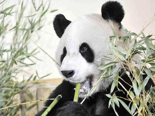 Çin panda nüfusunda son durum