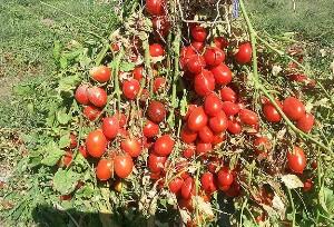 Manisa'da domates üreticisi dertli