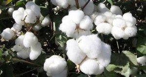 Dünyaca ünlü markalar 'better cotton' istiyor