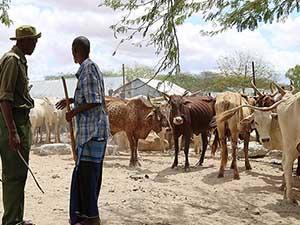 İHH'dan Cibuti'ye canlı hayvan yardımı