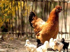 Küba tavuk ithalini askıya aldı