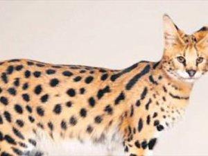 22 bin dolarlık kedi
