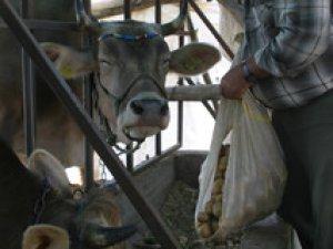 Bir ay önce 5 lira olan patatesi şimdi hayvanlar yiyor