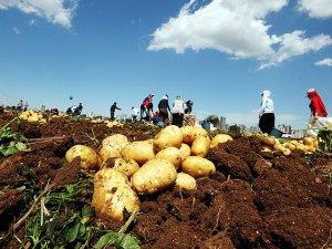 Patateste rekolte artışı bekleniyor