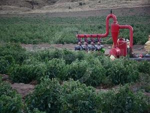 Tatvan'da 100 bin ton domates rekoltesi bekleniyor