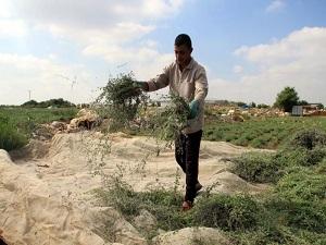 Filistin'in yeşil altını: Kekik