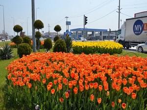 Yarım milyon çiçek dikildi