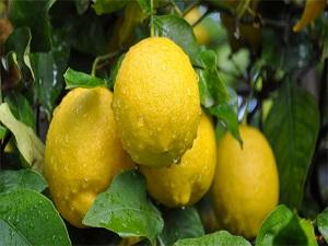Limon hasadına uyarı!
