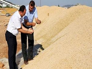 Avrupalı çiftçiye Türk tohumu ektiriyor