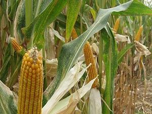 Mısır hasadı başlıyor, çiftçi alım fiyatını bekliyor
