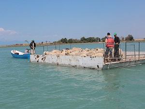 Koyun sürülerini salla adaya taşıyorlar