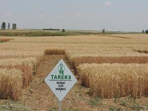 Türkiye'nin yeni buğdayı