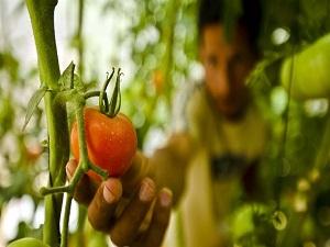 Gazze yıllık 3 bin ton organik tarım yapıyor