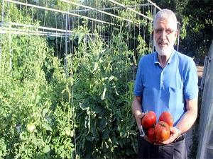 1 kiloluk domatesler görenleri şaşırtıyor