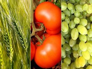 En çok buğday domates ve üzüm ürettik