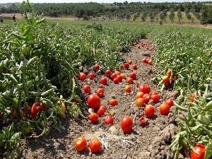 Salçalık domates üreticisi yine mağdur oldu