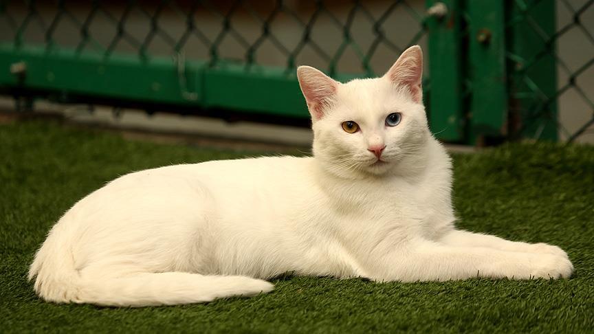 Van kedisini sahiplenme talebi artıyor