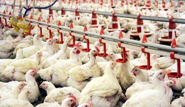 Tavuk etinde 'arsenik' iddiaları yanıt