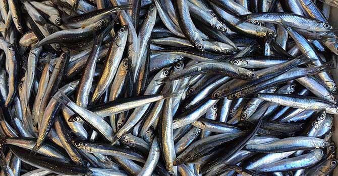 Baharın ortasında balıkçılara hamsi sürprizi