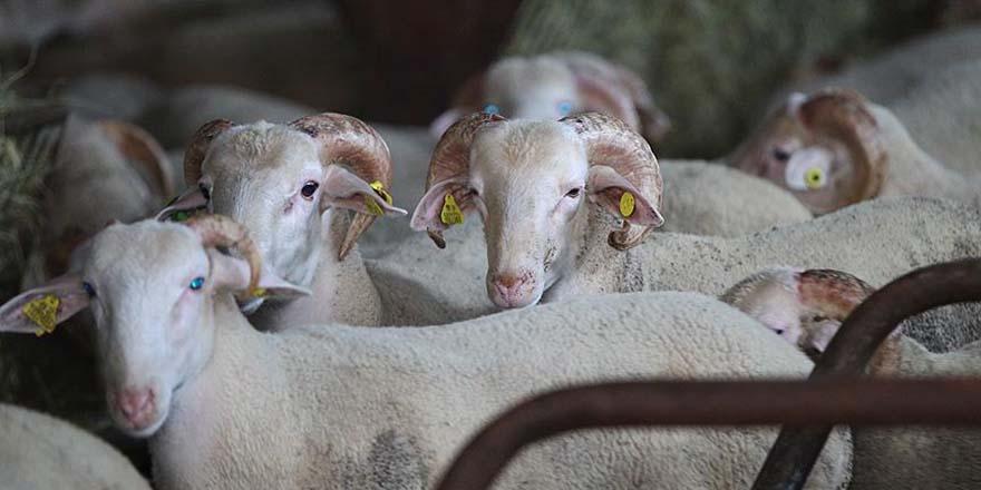 Ankara'da kurbanlık hayvan satışı başladı