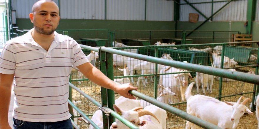 Bu keçiler üreticinin yüzünü güldürüyor