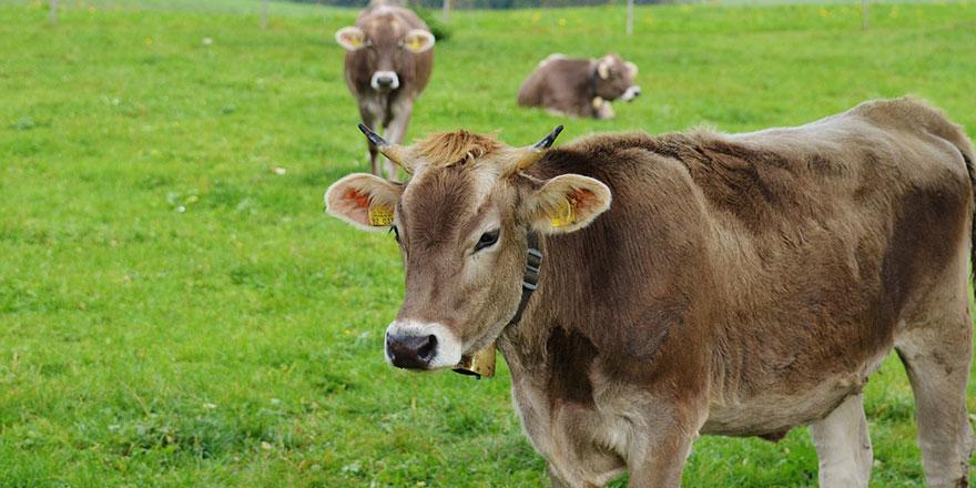 İsviçreli çiftçilerin 'boynuzlu inek' referandumu sonuçlandı