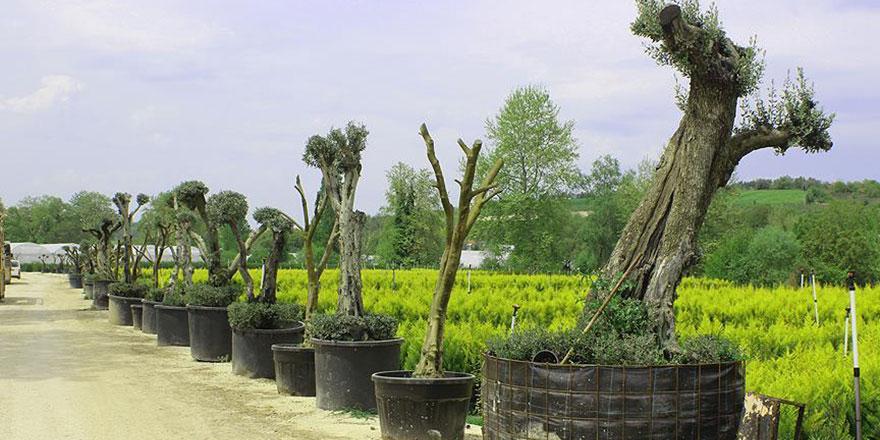 200 yıllık zeytin ağaçlarını odun olmaktan kurtaran yöntem