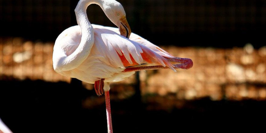 Flamingolar enerji tasarrufu için bunu yapıyormuş