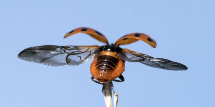 Uğur böceğinin kanat yapısı 1000 yıllık şemsiyeyi değiştirebilir