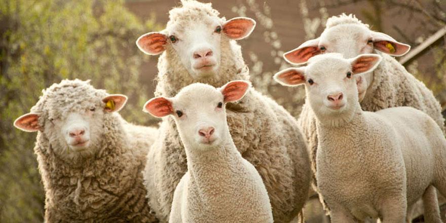 Hayvancılığa can damarı olacak 300 koyun projesi bu ilde başlıyor