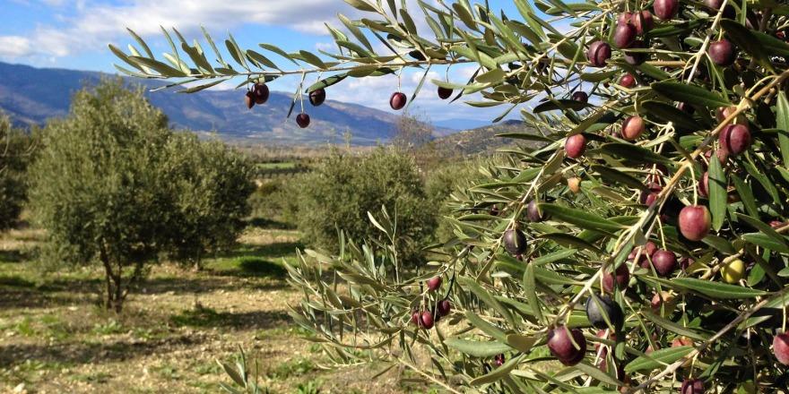 'Kudüs'e 10 bin zeytin ağacı' kampanyası başlatıldı