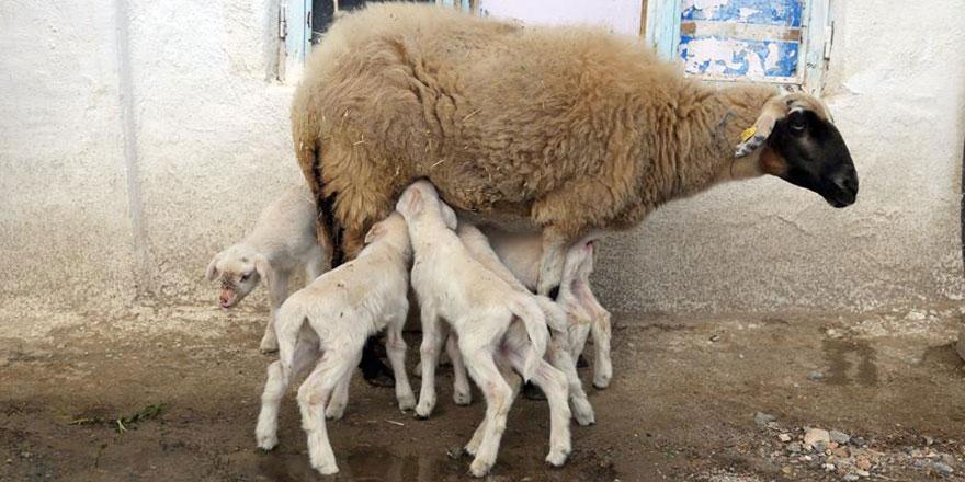 '300 koyun projesi' Şırnak'ta başladı