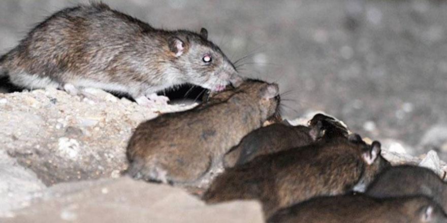 Hollanda, 'benzeri görülmemiş bir fare ve sıçan saldırısıyla karşı karşıya'