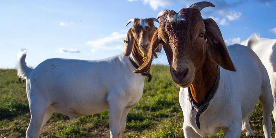 Yaban keçisi avlamanın cezası 26 bin lira ceza