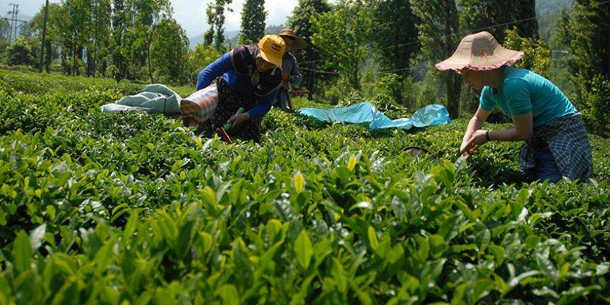 ÇAYKUR'un yaş çay alım kampanyası başladı