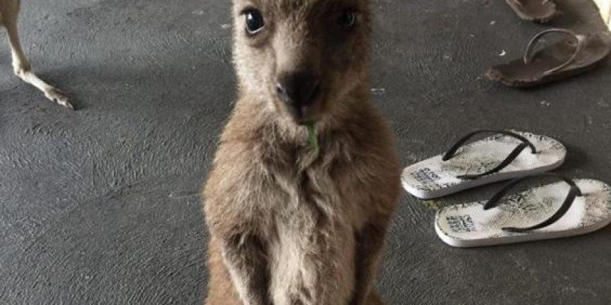Avustralya'dan anlamsız karar: Kanguruları öldürecekler