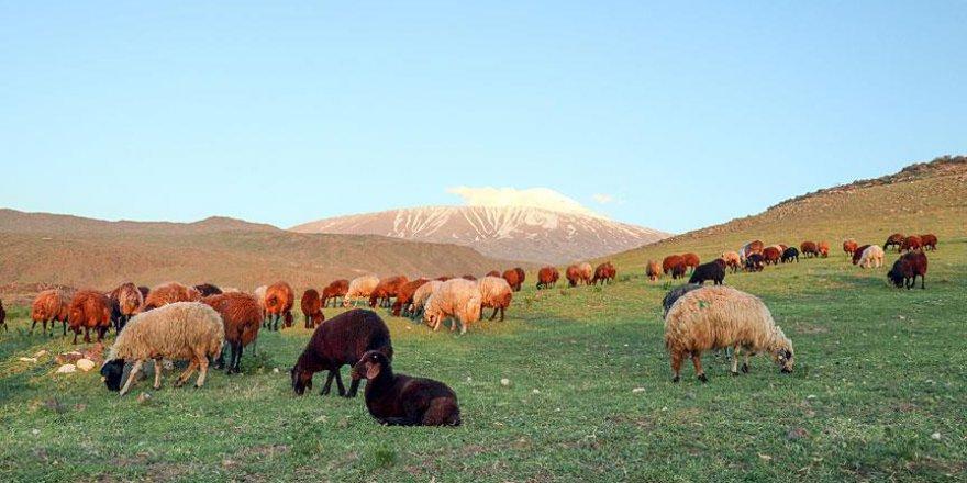 Doğu Anadolu'da koyunlara yayla tıraşı