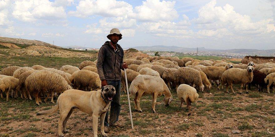 Kangal'ın yurt dışındaki popülerliği artıyor