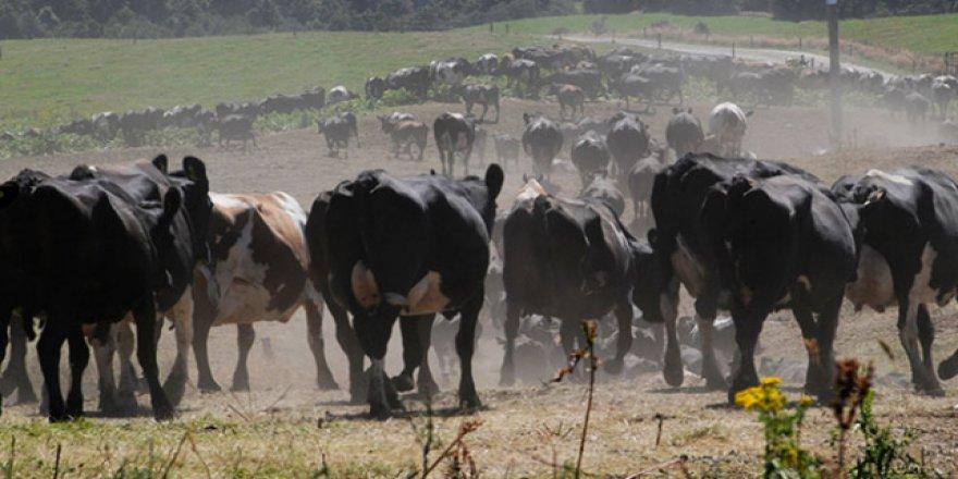 Yeni Zelanda'da bakteri nedeniyle sığırlar itlaf edilecek