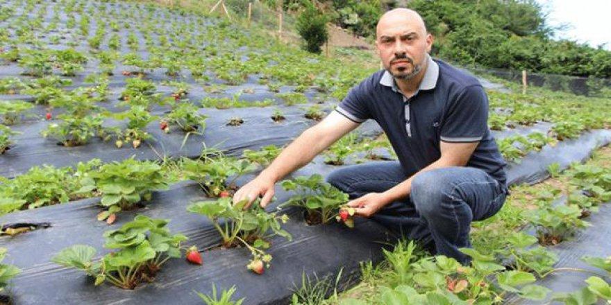 İki üniversite bitirdi, organik çilek yetiştiriciliği yapıyor