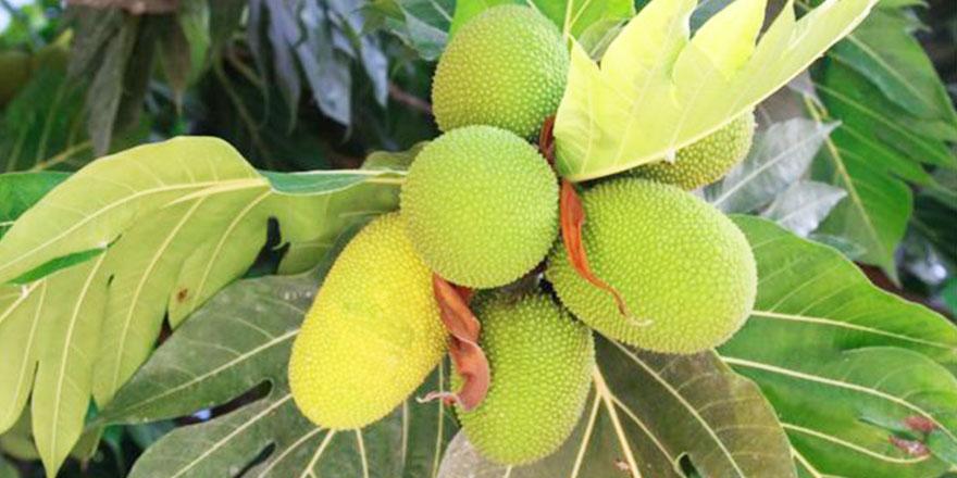 Kainat eczanesinden çok bilinmeyen 'ekmek ağacı meyvesi'