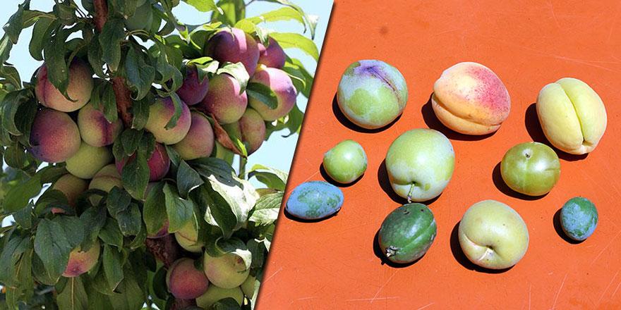 Maşallah! Tek ağaçta 10 çeşit meyve yetiştirdi