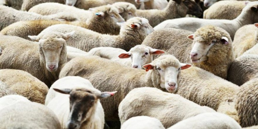 'Veba görülen Burgas bölgesinden hayvan alınmıyor'