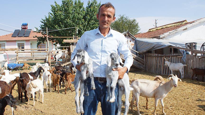 Stresten kurtulmak için başladı keçi çiftliği kurdu